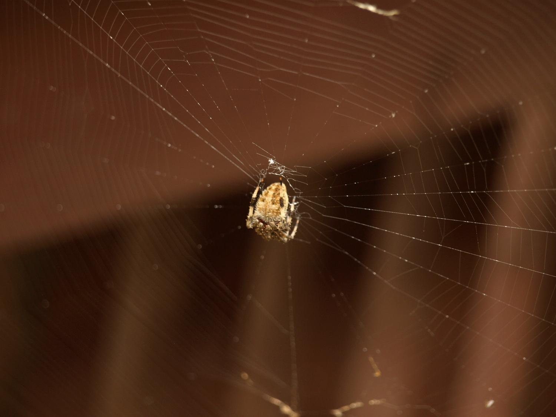 Charlotte, the barn spider